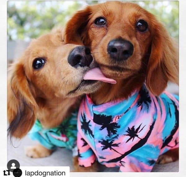 Palm springs lycra dog tee for summer