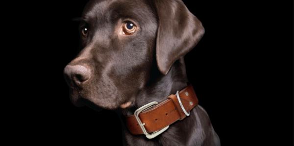 Angel Dallas Argentinean leather dog collar