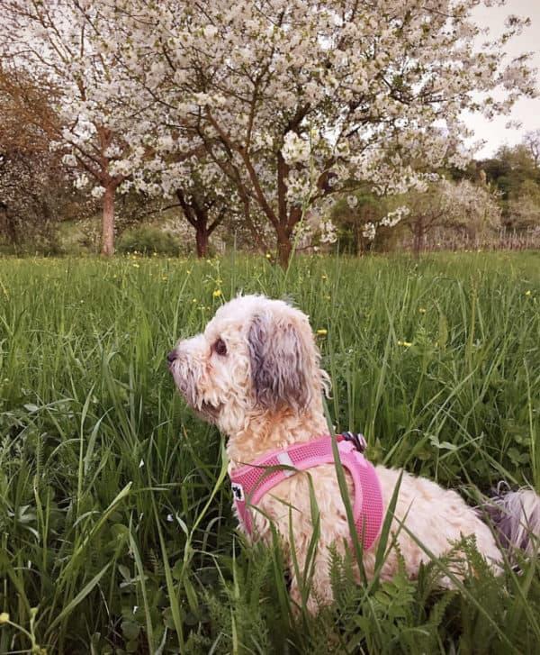 Curli Comfort vest harness pink, cooling in summer.